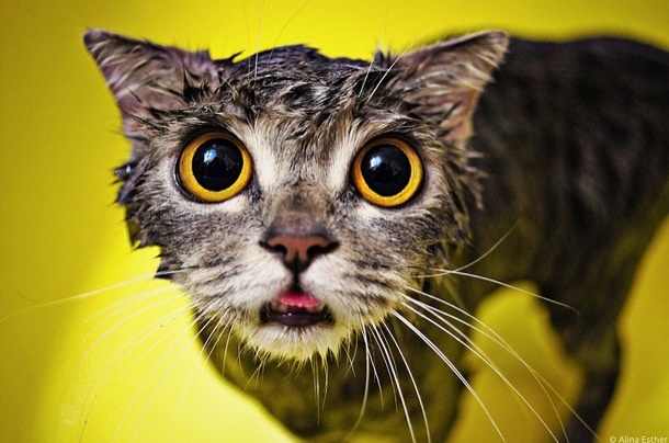 hilarious-wet-cats-24