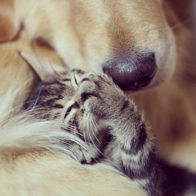 kitten-rescued-golden-retriever-ichimi-ponzu-jessiepon-26