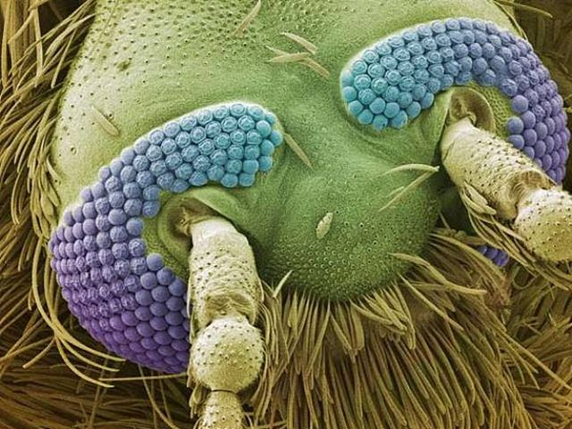The head of a mosquito