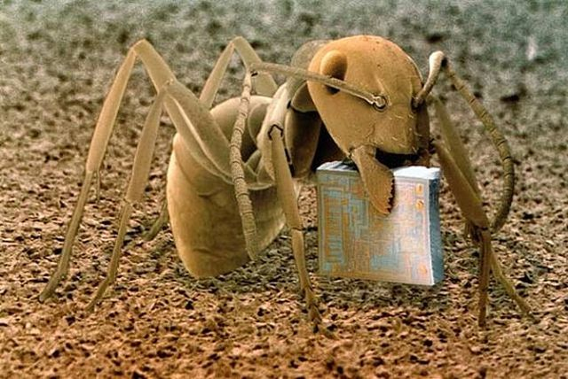 Woodland Ant holding a microchip