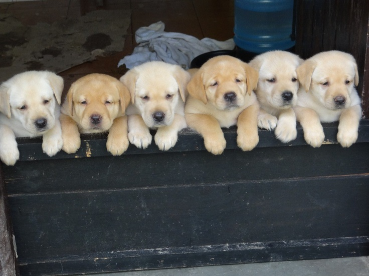 cute puppy labs