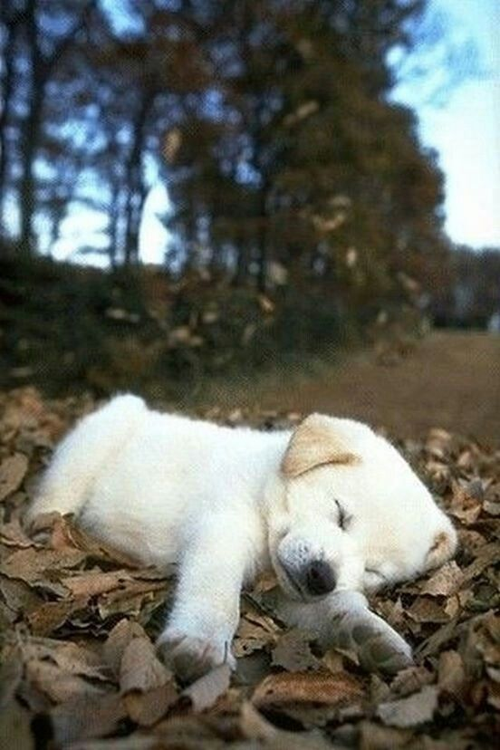 cute white lab