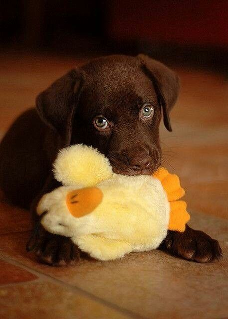 labrador and his duck