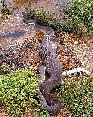 snake eating crocodile13