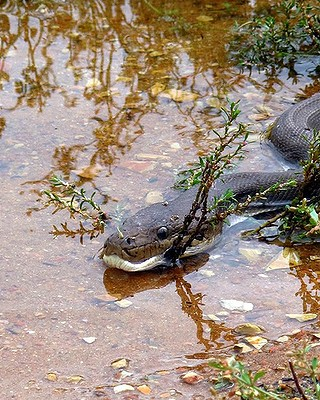 snake eating crocodile14