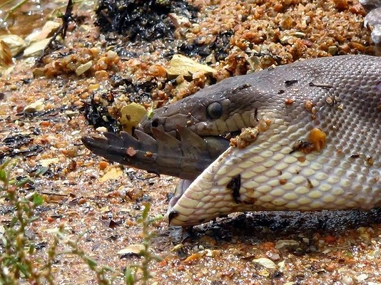 snake eating crocodile2