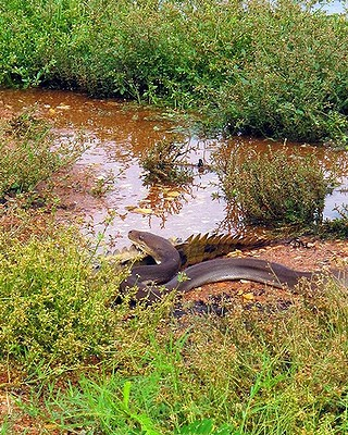 snake eating crocodile5