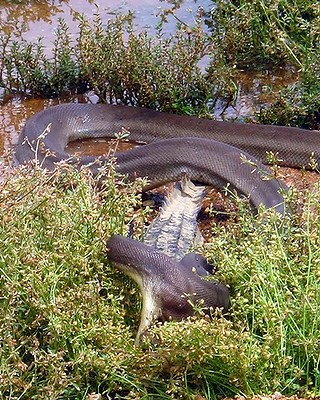 snake eating crocodile6