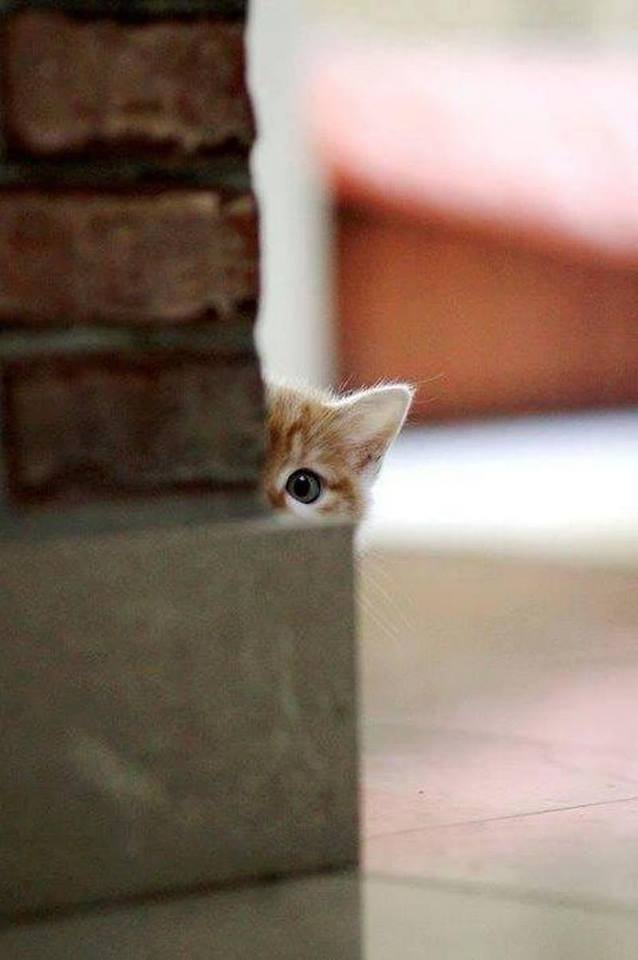 Cat Peeking Meme