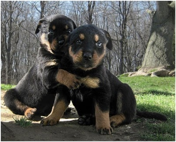 Cute Rottweilers Pups