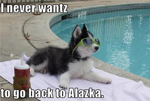 funny husky dog pictures 13