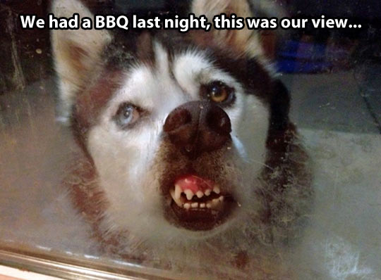 funny husky dog pictures 17