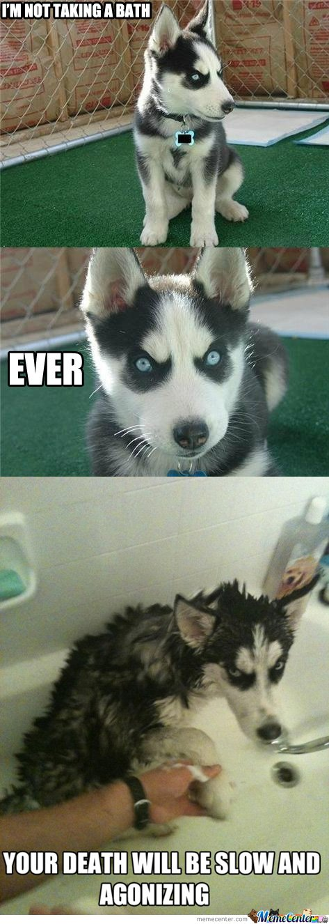 funny husky dog pictures 2