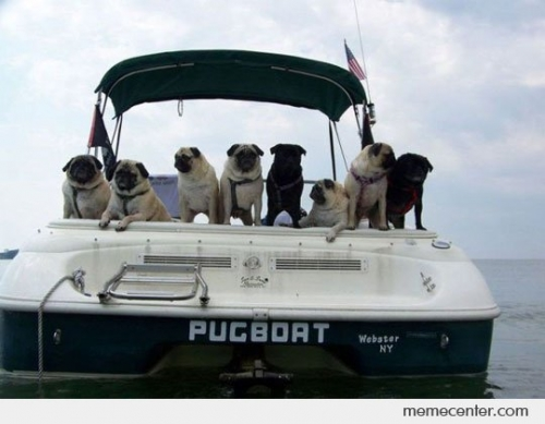 funny pug pictures 20