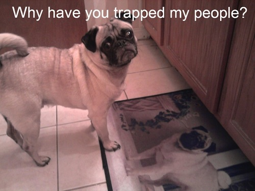 funny pug pictures 9