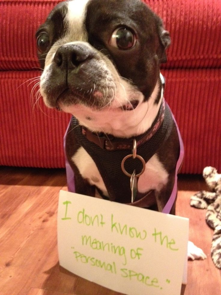 boston terrier shamed