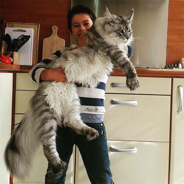maine coon big 1