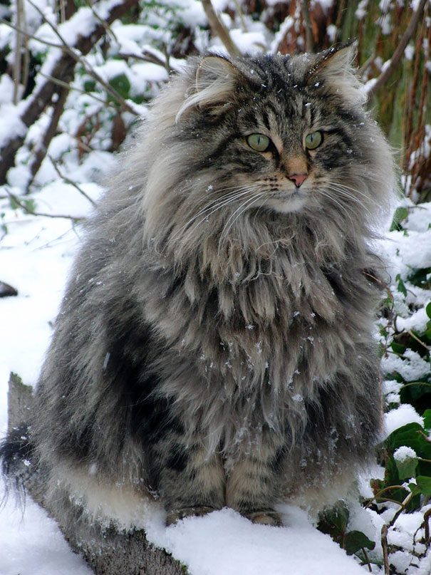 maine coon big 2